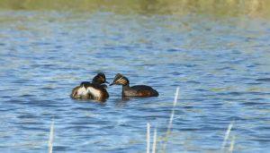 aves-en-el-agua-tablas-de-daimiel