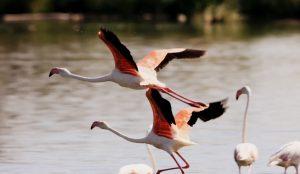 vuelo-de-los-flamencos-en-navaseca